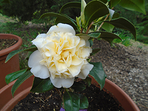 Camellia japonica jurys yellow